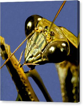 Canibal Canvas Print - Macro Closeup Of The Chinese Praying Mantis Cleaning Himself After Eating A Live Cricket by Leslie Crotty