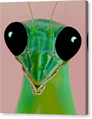 Canibal Canvas Print - Macro Closeup Of The Female Chinese Mantis by Leslie Crotty