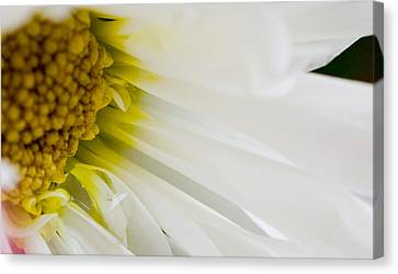 Macro Daisy Canvas Print by John Holloway