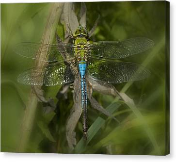 Dragon Fly Canvas Print - Macro Dragonfly by Jack Zulli