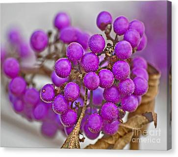 Macro Of Purple Beautyberries Callicarpa Plant Art Prints Canvas Print