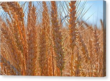 Macro Of Wheat Art Prints Canvas Print