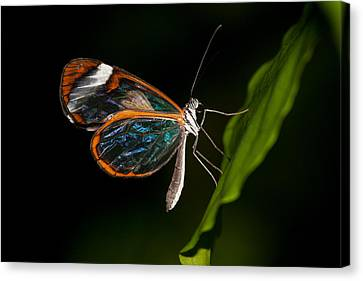 Canvas Print featuring the photograph Macro Photograph Of A Glasswinged Butterfly by Zoe Ferrie