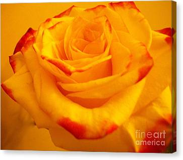 Macro Yellow Rose With Red Canvas Print by Marsha Heiken