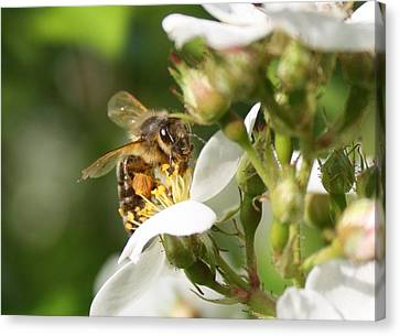 Mad Honeybee Canvas Print by Lucinda VanVleck