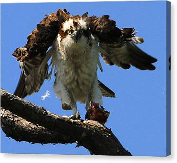 Mad Osprey Canvas Print