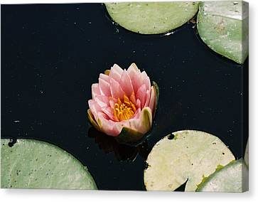 Canvas Print featuring the photograph Madam Wilfron Gonnere Aka. Water Lily by Ramona Whiteaker