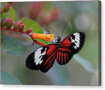 Madiera Butterfly Canvas Print by Juergen Roth
