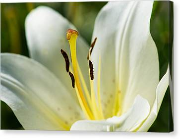 Madonna Lily - Featured 3 Canvas Print by Alexander Senin