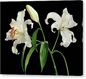 Madonna Lily (lilium Candidum) Canvas Print by Gilles Mermet