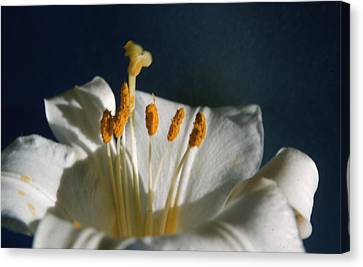 Madonna Lily Canvas Print by Retro Images Archive