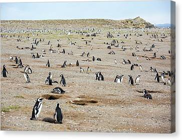 Magellanic Penguin Colony Canvas Print by Peter J. Raymond