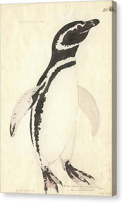 Magellanic Penguin Canvas Print by Natural History Museum, London