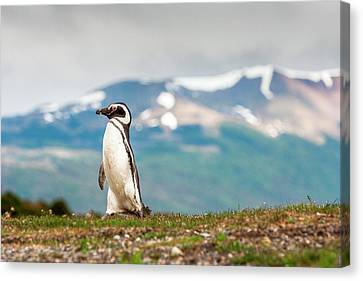 Magellanic Penguin (spheniscus Canvas Print by James White
