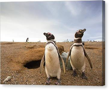 Magellanic Penguins Around Their Burrow Canvas Print by Peter J. Raymond