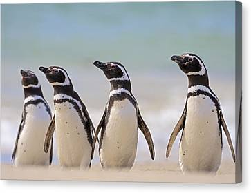 Magellanic Penguins Carcass Island Canvas Print by Heike Odermatt