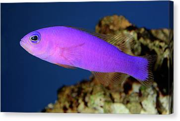 Magenta Dottyback Canvas Print