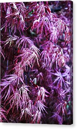 Magenta Japanese Maple Canvas Print by Anthony Ackerman