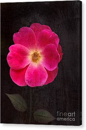 Canvas Print featuring the photograph Magenta Mood by Kathi Mirto