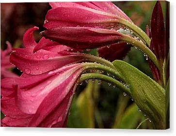 Canvas Print featuring the photograph Magenta Rain by Greg Allore