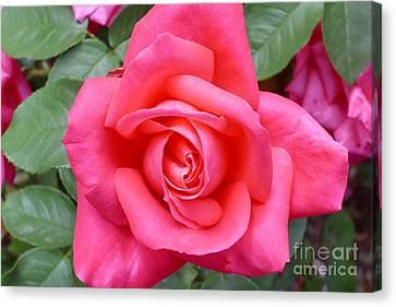 Magenta Rose Magic Canvas Print