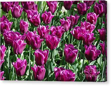 Canvas Print featuring the photograph Magenta Tulips by Allen Beatty