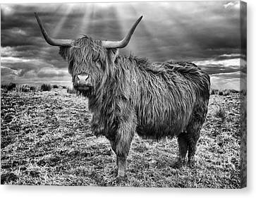 Magestic Highland Cow Canvas Print by John Farnan