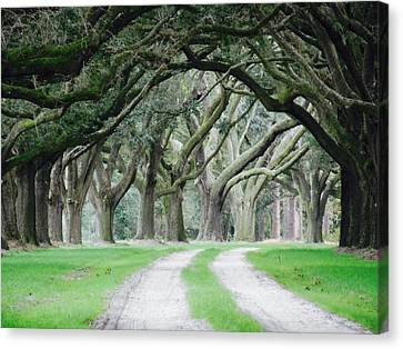 Magic Live Oaks Canvas Print