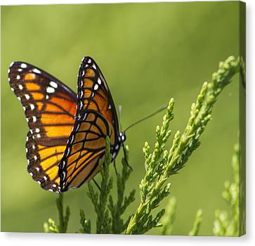 Magical Monarch Butterfly - Danaus Plexippus Canvas Print