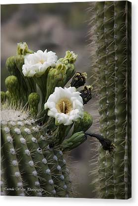 Canvas Print featuring the photograph Magnificant Bloom Of The Saguaro by Lucinda Walter