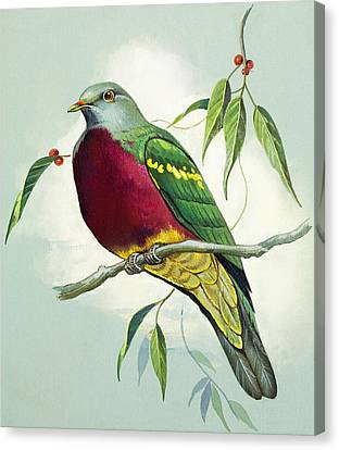 Magnificent Fruit Pigeon Canvas Print by Bert Illoss