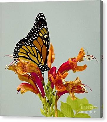 Magnificent Monarch Canvas Print