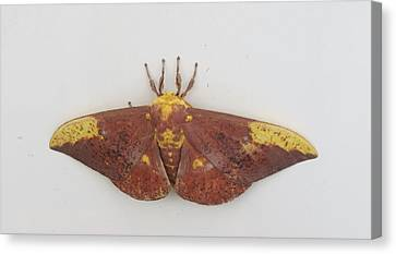 Magnificent Moth Canvas Print