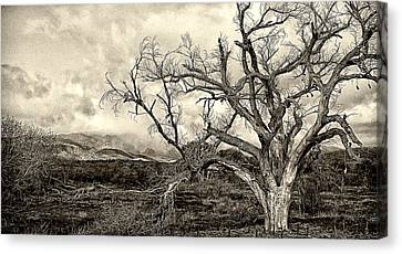 Magnificent Shoe Tree Near San Felipe Road Canvas Print by Ron Regalado