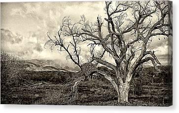 Magnificent Shoe Tree Near San Felipe Road Canvas Print by Ron Regalado