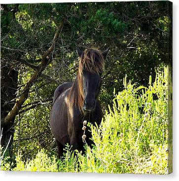 Magnificent Wild Horse Canvas Print by Cindy Croal