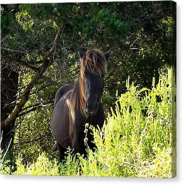 Magnificent Wild Horse Canvas Print