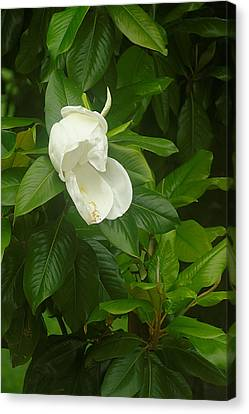 Canvas Print featuring the photograph Magnolia 1 by Suzanne Powers