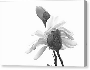 Magnolia Bloom 1 Canvas Print by Tammy Schneider