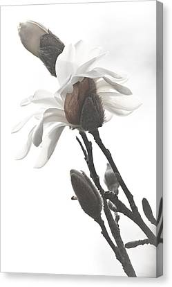 Canvas Print featuring the photograph Magnolia Bloom by Tammy Schneider