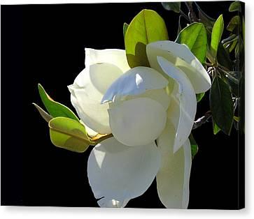 Magnolia Blossom Canvas Print by Ginny Schmidt