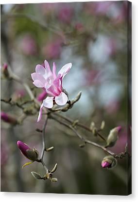 Magnolia Blossom In Tree 3 Canvas Print by Rebecca Cozart