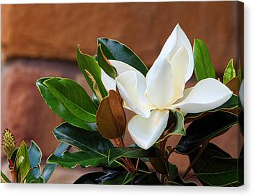 Magnolia Blossom With Bud Canvas Print by Linda Phelps