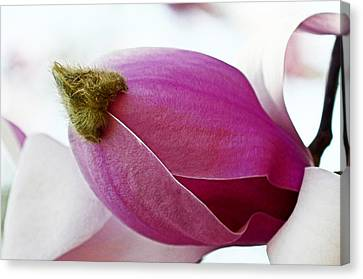 Magnolia Blossom With Cap Canvas Print by Lisa Phillips