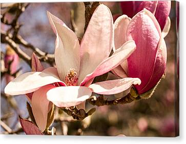 Magnolia Blossoms Canvas Print by Cathy Donohoue