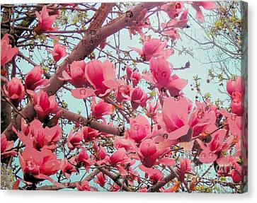 Magnolia Blossoms In Spring Canvas Print by Janette Boyd