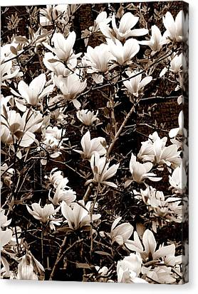 'magnolia Blossoms' Canvas Print