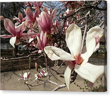 Canvas Print featuring the photograph Magnolia Branches by Caryl J Bohn