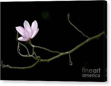 Magnolia Campbellii Darjeeling Flower Canvas Print by Tim Gainey
