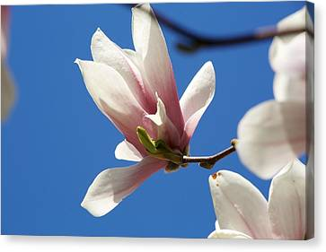Magnolia Flower Canvas Print by Allan Morrison